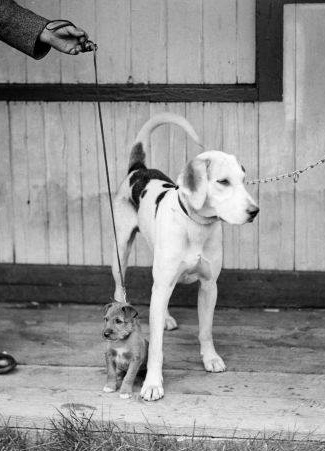 Ullswater Hound and Terrier 1931